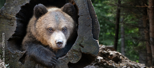Close up bear cub portrait