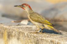 Greeen Woodpecker (Picus Virid...