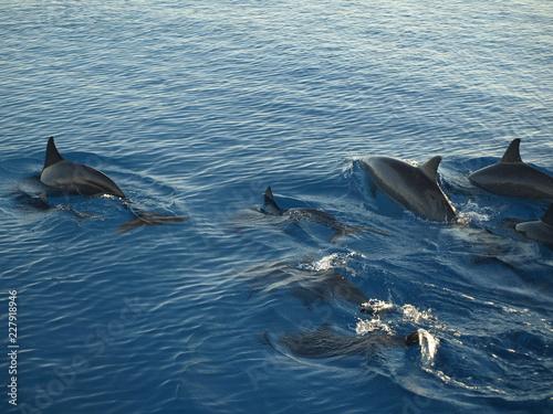 Vászonkép dolphin