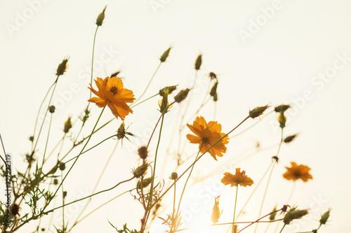 Foto op Canvas Bloemen yellow cosmos flower blooming at sunrise