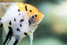Freshwater Angelfish Or Marble...
