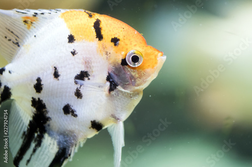 Photo Freshwater angelfish or Marbled Angelfish that has a black white and yellow patt
