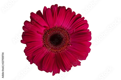 Staande foto Gerbera Single burgundy gerbera flower isolated on white background