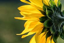 Sunflower, Backside
