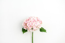 Pink Hydrangea Flower Isolated...