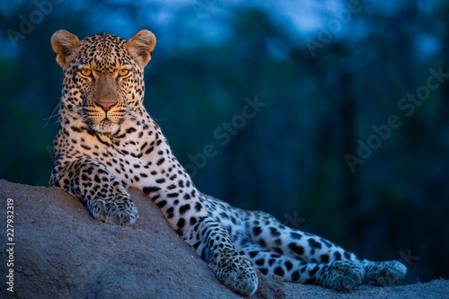 Photo sur Aluminium Leopard Leopard in their natural habitat. - captured in the Greater Kruger National Park South Africa