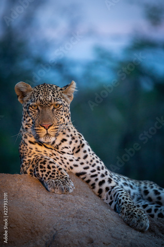 Spoed Foto op Canvas Luipaard Leopard in their natural habitat. - captured in the Greater Kruger National Park South Africa