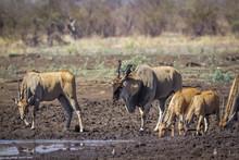 Common Eland In Kruger Nationa...