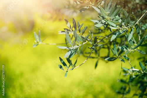 Poster Olijfboom Fresh green olive tree branches