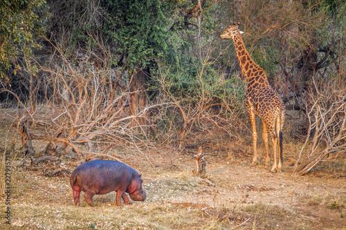 Vászonkép  Giraffe and hippoptamus in Kruger National park, South Africa
