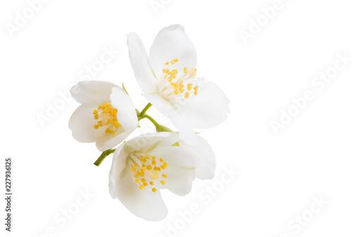 Photo  jasmine flower isolated