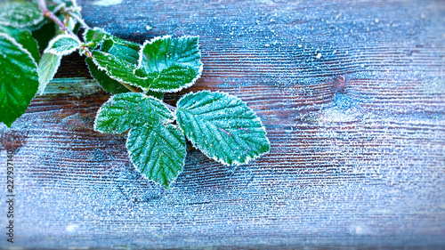 Fotografie, Obraz  Green leaves on wooden background in winter with heavy frost