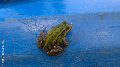Tuinposter Kikker Green frog on the blue kayak