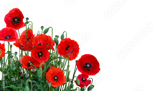 Poster Poppy Flowers red poppies ( Papaver rhoeas, common names: corn poppy, corn rose, field poppy, red weed, coquelicot ) on a white background with space for text.