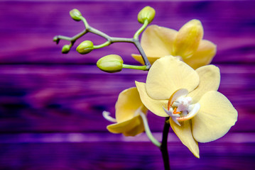 Branch of a yellow orchid on a brown wooden background