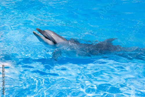 One dolphin looking out of the blue water close up