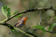 Robin (redbreast) on a tree branch