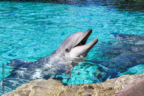 Leinwand Poster A closeup view of a common bottlenose dolphin in a pool with open mouth waiting