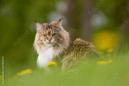 Photo  chat mignon maine coon poil long herbe moustache portrait