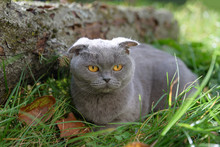 Purebred Gray Cat Sitting Outside On The Grass Around Autumn