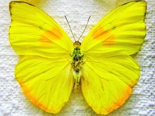 Orange-barred Sulphur. Phoebis Philea. Butterfly On Canvas