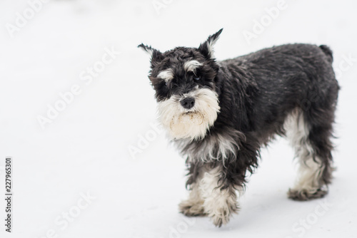 Foto  Dog breed miniature Schnauzer in clothes overalls for a winter walk