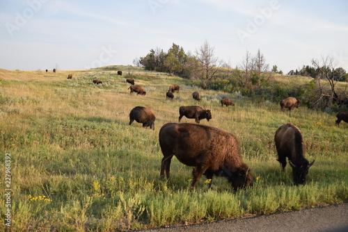 Aluminium Prints Bison Bisons in Theodore Roosevelt National Park