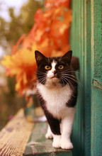 Beautiful Cat In Autumn Park Looks Funny And Stands On Benches Among Leaves And Branches Of Bright Maple