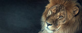Fototapeta Animals - close-up of an African lion