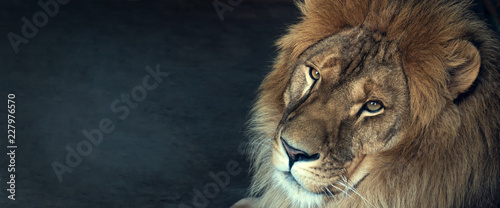 close-up of an African lion Canvas Print