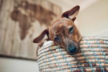 Puppy In Wicker Basket