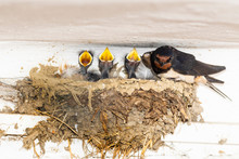 Young Swallows Feeding On A Nest