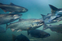 Chinook Salmon Underwater