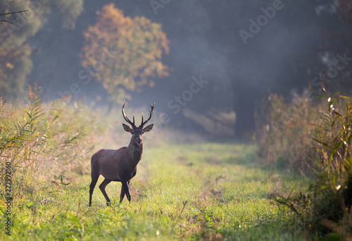 Spoed Fotobehang Hert Red deer in forest on foggy morning