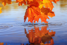 Beautiful Lush Maple Leaves Of Bright Gold And Orange Color Bent Over The Blue Water Reflecting In It