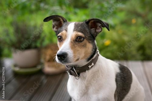 Fotografie, Obraz  portrait of jack russell terrier
