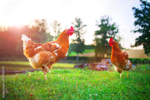 Cadres-photo bureau Poules hen, chicken on the farm, livestock bird poultry concept