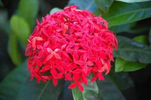 Beautiful Red Santan Flowers O...