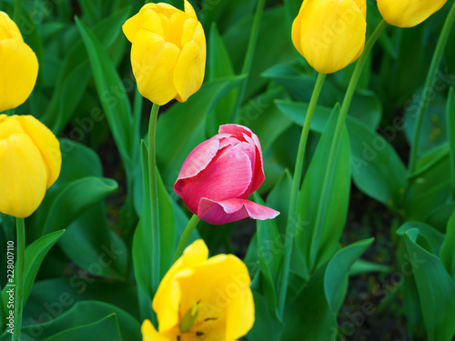 Foto op Canvas Bloemen Red tulip growing among yellow tulips
