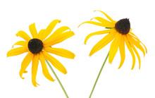 Black Eyed Susan- Rudbeckia Flowers Isolated On White Background.