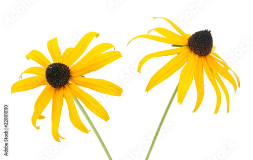 Black eyed susan- rudbeckia flowers isolated on white background Canvas-taulu