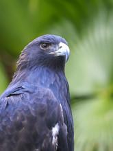 Portrait Of A Young Bald Eagle