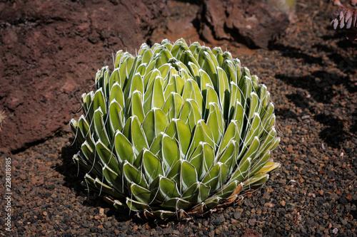 Stampa su Tela queen victoria agave (Agave victoria-reginae) outdoor