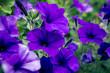 Leinwandbild Motiv violet petunia at a park