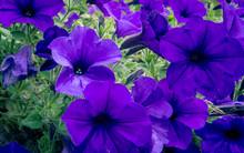 Violet Petunia At A Park