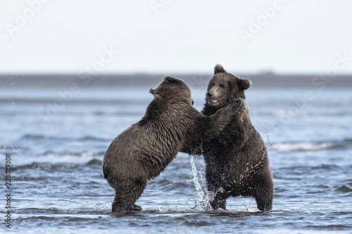 Photo  Brown bear cubs playing in the surf;  Lake Clark NP;  Alaska