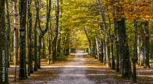 Camino en medio de un bosque de abedules y otros árboles en otoño. Los Jardines de la Granja, Real sitio de San Ildefonso, España.