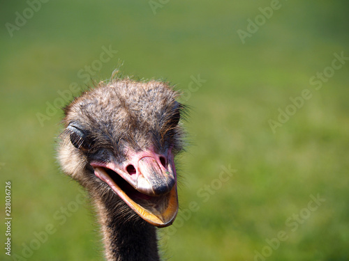 Fotobehang Struisvogel Portrait of a cute ostrich
