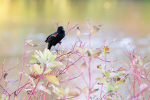 Red Wing Blackbird (agelaius Phoeniceus) Singing On A Tree Branch During Autumn Season. Lake In The Background.