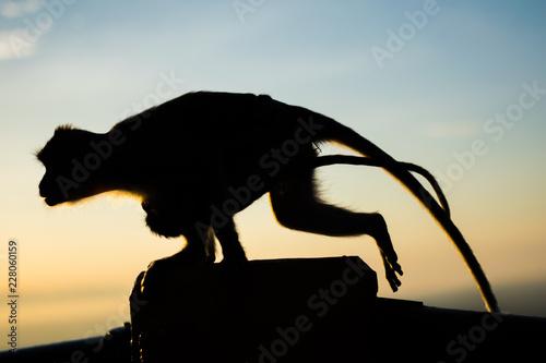 silhouette monkey running on morning sky